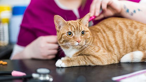 ginger cat consultation