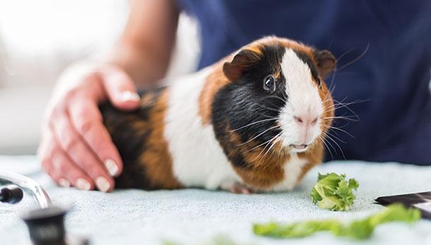 guinea pig consultation