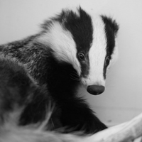 Badger -