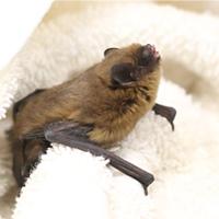 Bat -