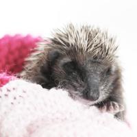 Hedgehog -