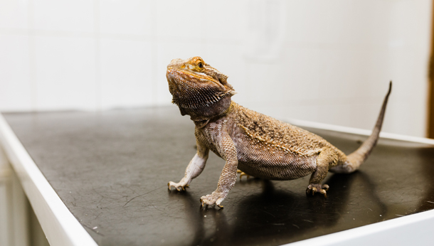 Bearded dragon on counter