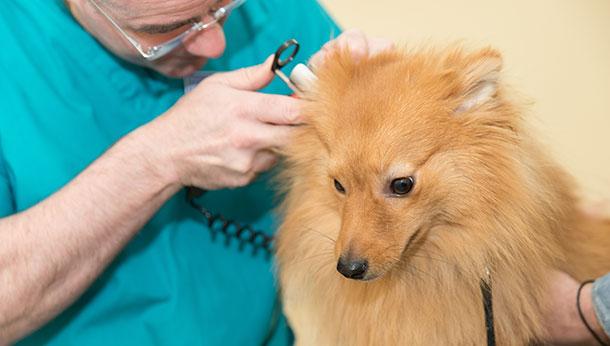 Pomeranian examination