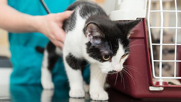 Kitten examination