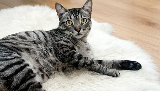 cat lying on rug