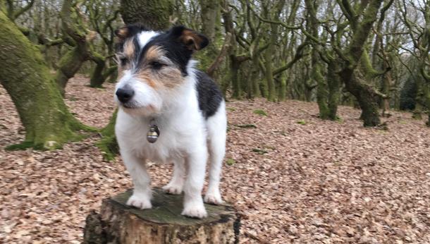 Terrier in the woods