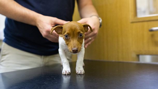 vet checks puppy