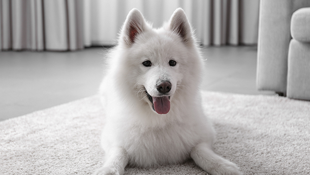 A white dog in a room