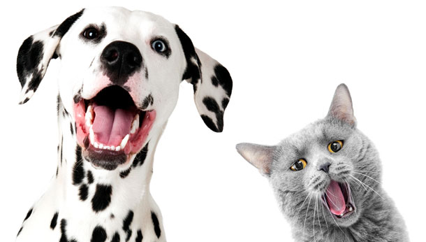 dalmatian and grey cat