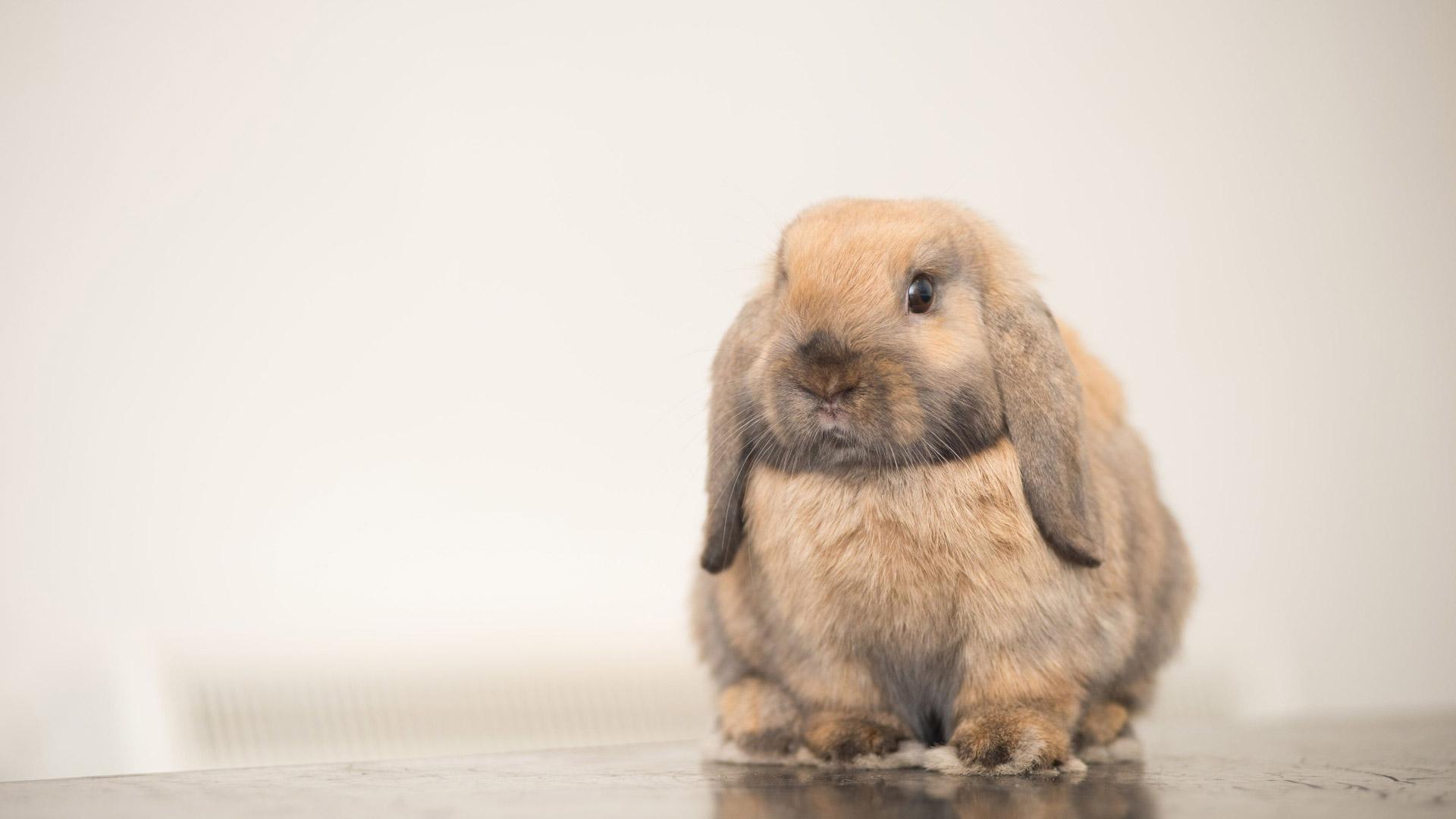 Rabbit Advice   Local Vets in Ingleby Barwick   Copeland Vets