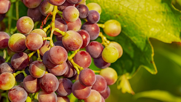 Grape Raisin Poisoning In Dogs Crown Vets