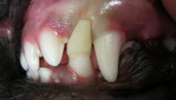 Common Dental Cases | Veterinary Dental Services - Dental Vets